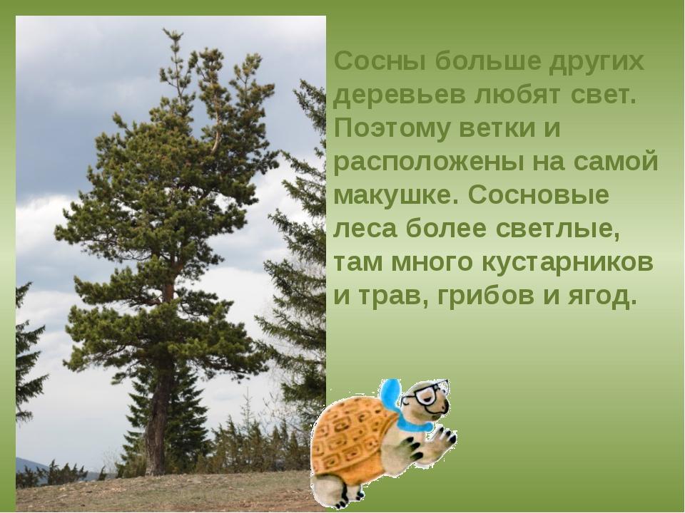 Сосны больше других деревьев любят свет. Поэтому ветки и расположены на самой...
