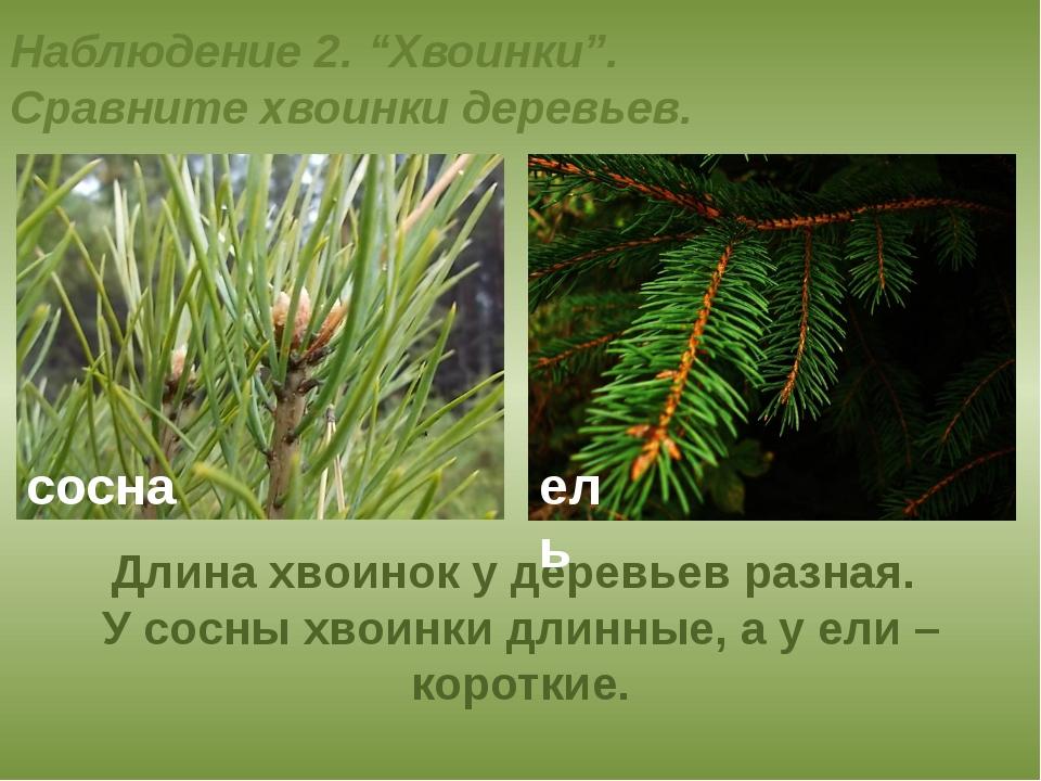 """Наблюдение 2. """"Хвоинки"""". Сравните хвоинки деревьев. Длина хвоинок у деревьев..."""