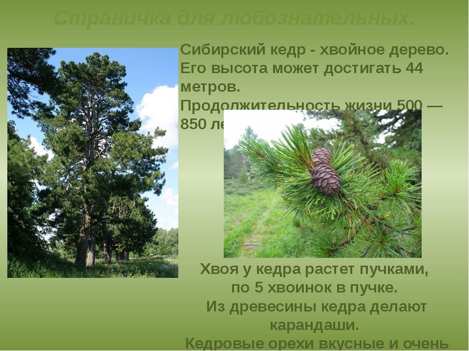Сибирский кедр- хвойное дерево. Его высота может достигать 44 метров. Продо...