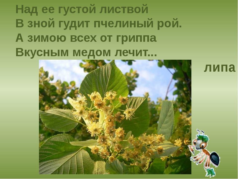 Над ее густой листвой В зной гудит пчелиный рой. А зимою всех от гриппа Вкусн...
