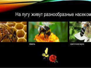 На лугу живут разнообразные насекомые. Пчела Шмель Цветочная муха