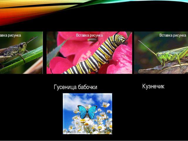 Гусеница бабочки Кобылка Кузнечик