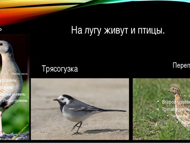 На лугу живут и птицы. Перепел Коростель Трясогузка