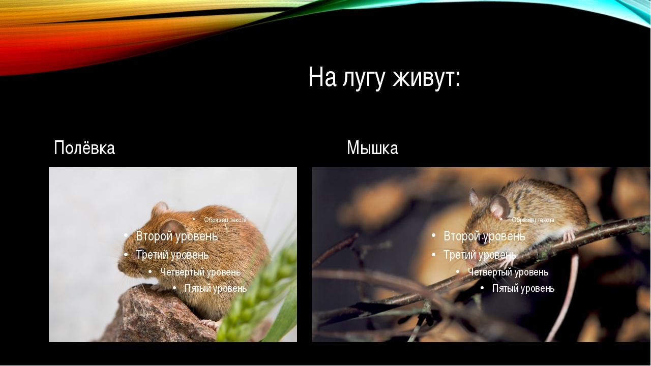 На лугу живут: Полёвка Мышка