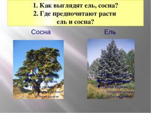 1. Как выглядят ель, сосна? 2. Где предпочитают расти ель и сосна? Сосна Ель