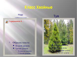Класс Хвойные Кедр (сибирская сосна) Туя