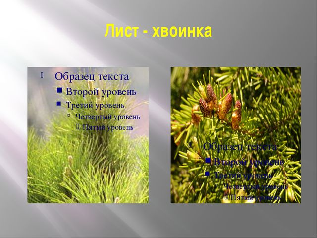 Лист - хвоинка