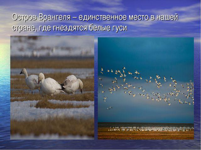 Остров Врангеля – единственное место в нашей стране, где гнездятся белые гуси