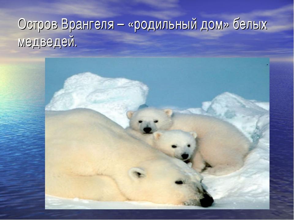 Остров Врангеля – «родильный дом» белых медведей.