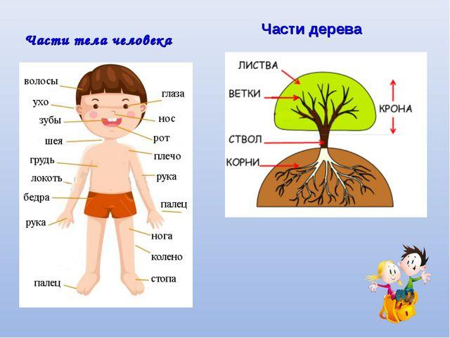 Части тела человека Части дерева