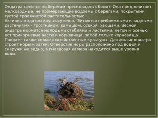 Ондатра селится по берегам пресноводных болот. Она предпочитает мелководные,