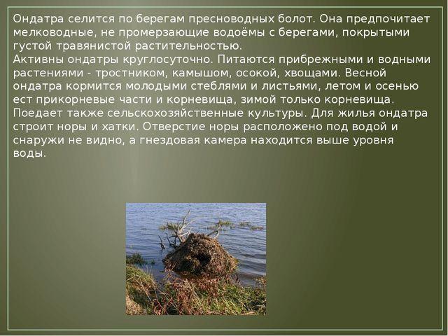 Ондатра селится по берегам пресноводных болот. Она предпочитает мелководные,...
