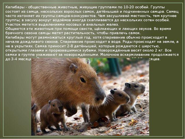 Капибары - общественные животные, живущие группами по 10-20 особей. Группы со...