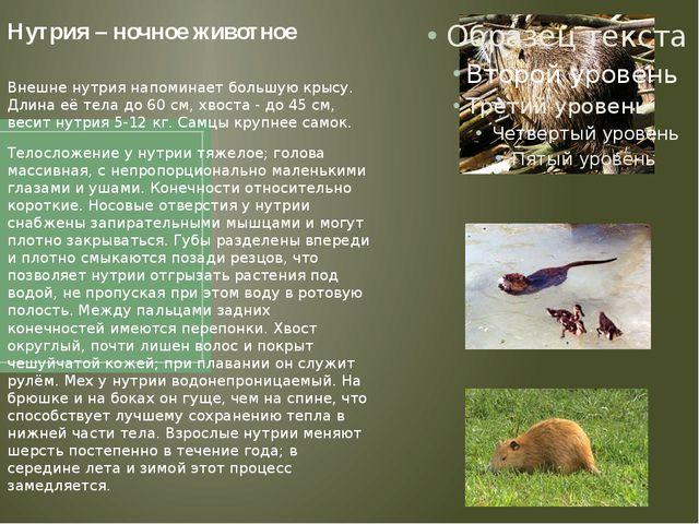 Нутрия – ночное животное Внешне нутрия напоминает большую крысу. Длина её тел...