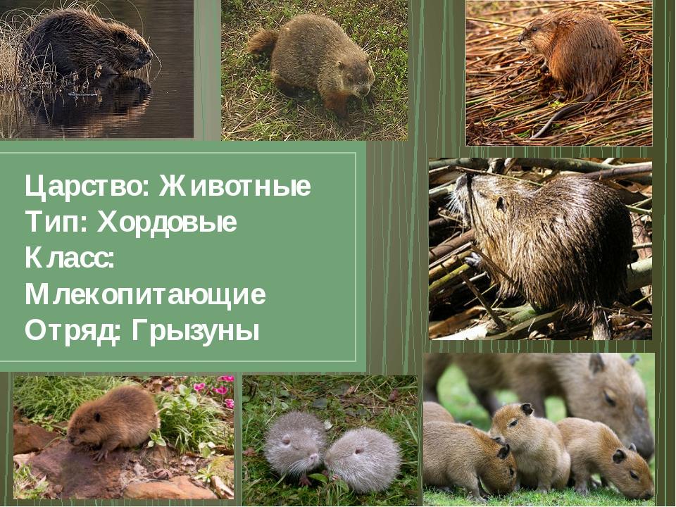 Царство: Животные Тип: Хордовые Класс: Млекопитающие Отряд: Грызуны
