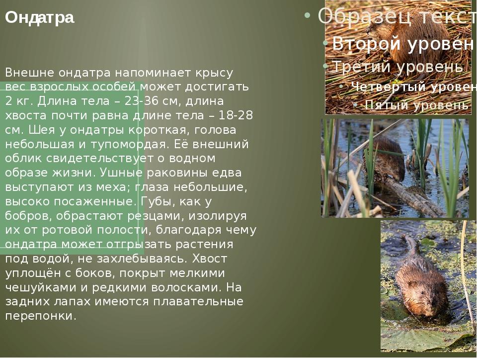 Ондатра Внешне ондатра напоминает крысу вес взрослых особей может достигать 2...