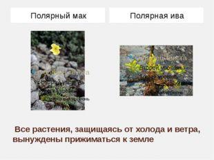 Все растения, защищаясь от холода и ветра, вынуждены прижиматься к земле Пол