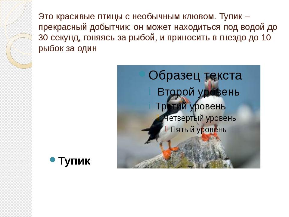 Это красивые птицы с необычным клювом. Тупик – прекрасный добытчик: он может...