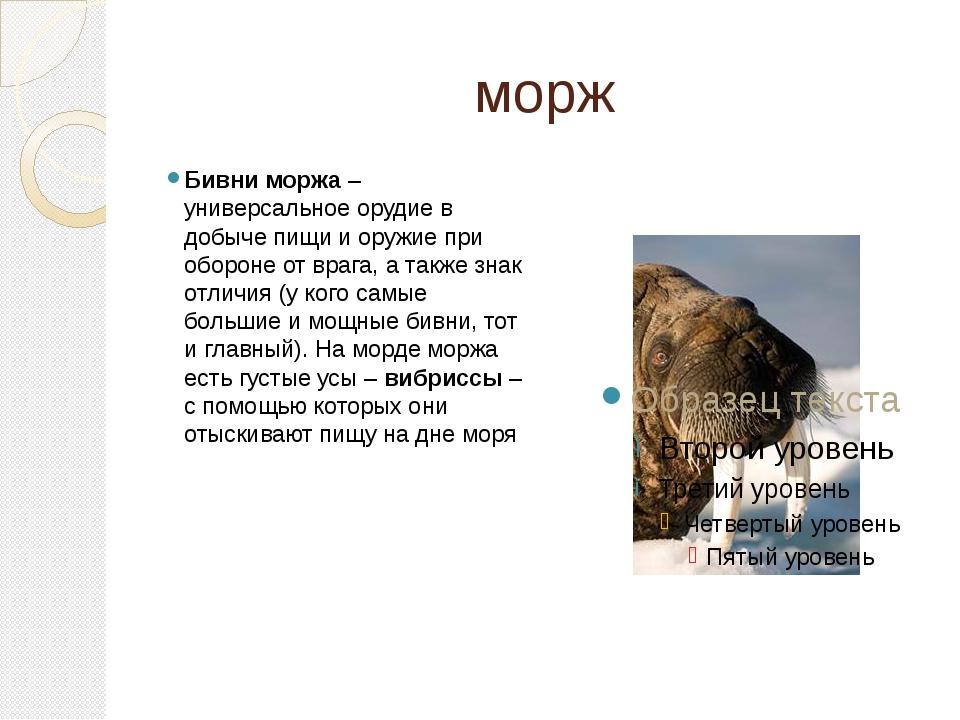 морж Бивни моржа– универсальное орудие в добыче пищи и оружие при обороне от...