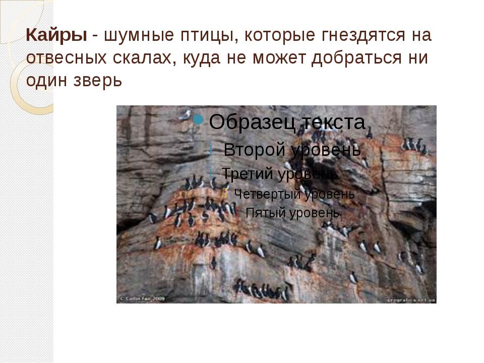 Кайры - шумные птицы, которые гнездятся на отвесных скалах, куда не может доб...
