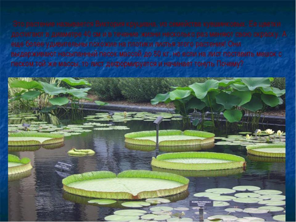 Это растение называется Виктория круциана, из семейства кувшинковых. Ее цвет...