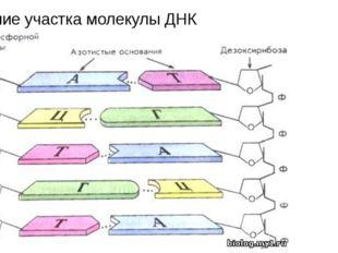 Строение участка молекулы ДНК