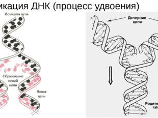 Репликация ДНК (процесс удвоения)