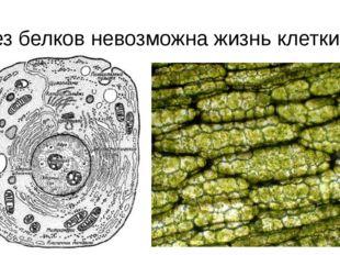 Без белков невозможна жизнь клетки!