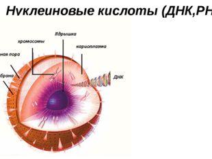 Нуклеиновые кислоты (ДНК,РНК)