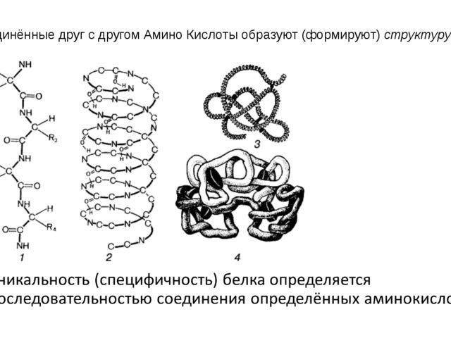Соединённые друг с другом Амино Кислоты образуют (формируют) структуру белка