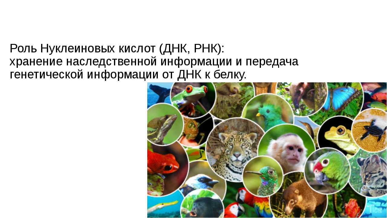 Роль Нуклеиновых кислот (ДНК, РНК): хранение наследственной информации и пере...