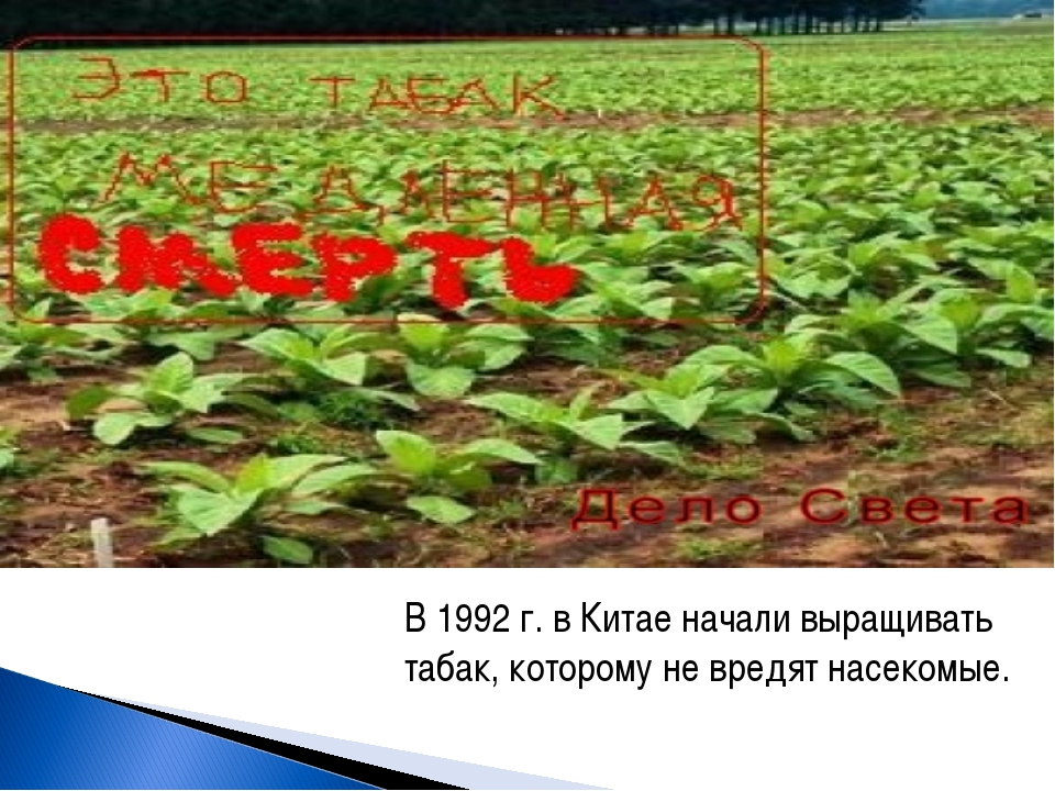 В 1992 г. в Китае начали выращивать табак, которому не вредят насекомые.