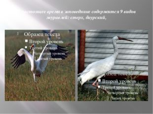 В настоящее время в заповеднике содержится 9 видов журавлей: стерх, даурский,