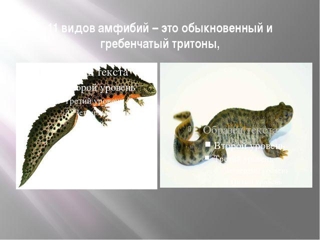 11 видов амфибий – это обыкновенный и гребенчатый тритоны,