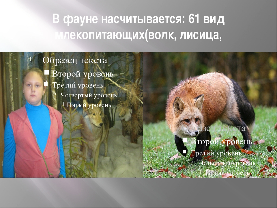 В фауне насчитывается: 61 вид млекопитающих(волк, лисица,