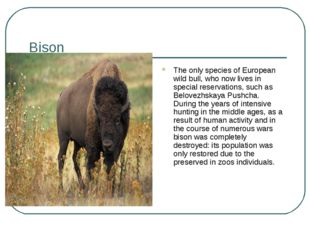 Bison The only species of European wild bull, who now lives in special reserv