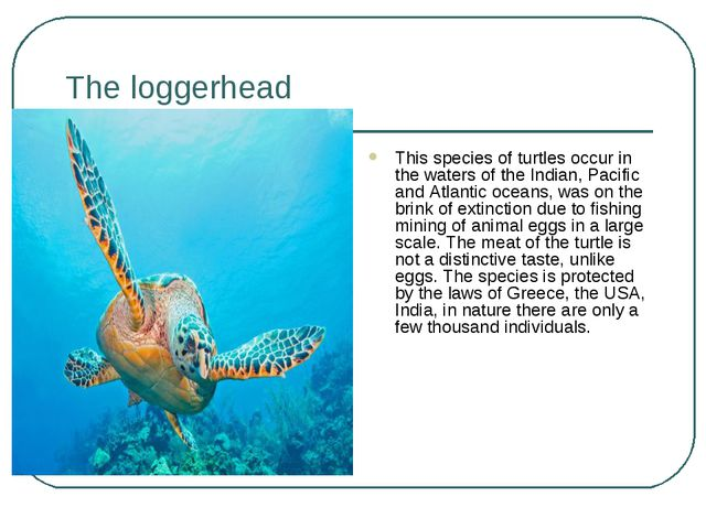 The loggerhead This species of turtles occur in the waters of the Indian, Pac...