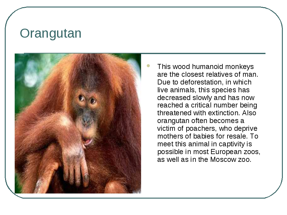 Orangutan This wood humanoid monkeys are the closest relatives of man. Due to...