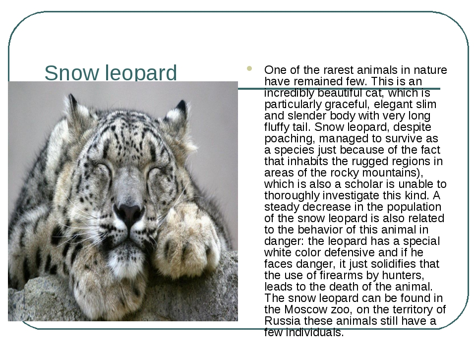 Snow leopard One of the rarest animals in nature have remained few. This is a...