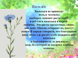 Василёк Васильки не приносят пользу человеку, наоборот, мешают расти хлебу, и