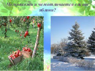 Чем похожи и чем отличается ель от яблони?