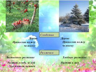 Дерево Дерево Приносит пользу человеку Приносит пользу человеку Хвойное расте