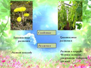 Травянистые растения Сходство Растет в огороде. Человек сажает, ухаживает, со