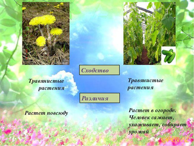 Травянистые растения Сходство Растет в огороде. Человек сажает, ухаживает, со...