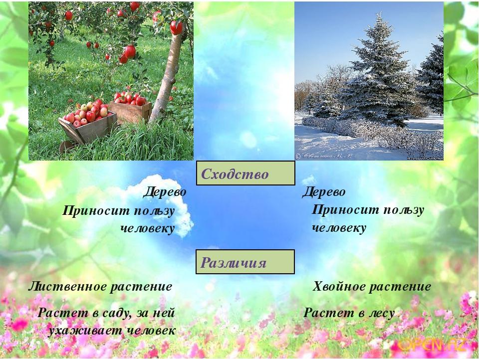 Дерево Дерево Приносит пользу человеку Приносит пользу человеку Хвойное расте...