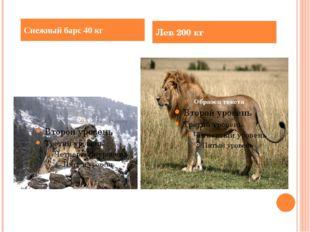 Снежный барс 40 кг Лев 200 кг