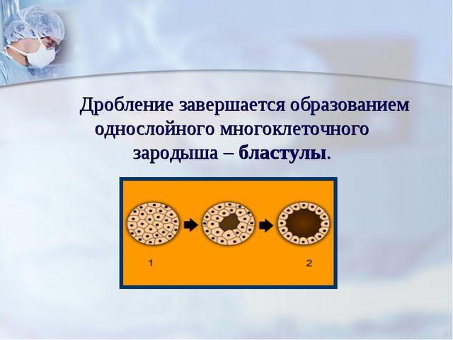 Дробление завершается образованием однослойного многоклеточного зародыша – б...
