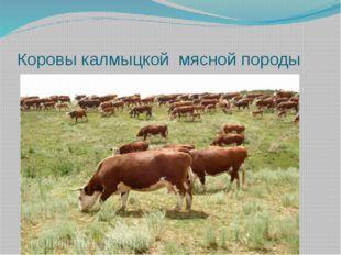 Коровы калмыцкой мясной породы
