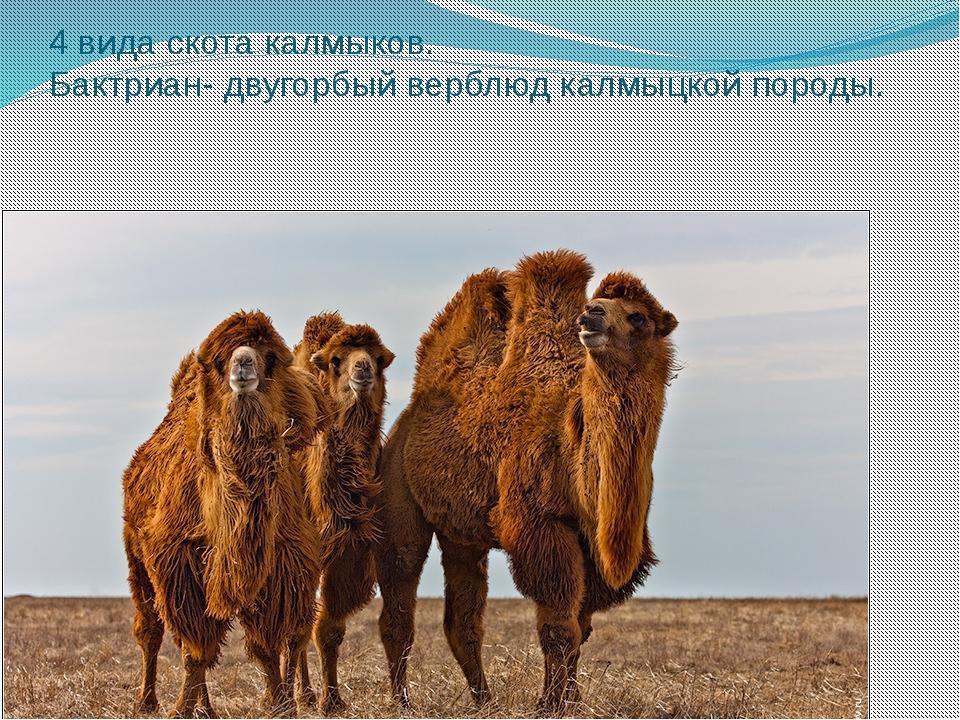 4 вида скота калмыков. Бактриан- двугорбый верблюд калмыцкой породы.