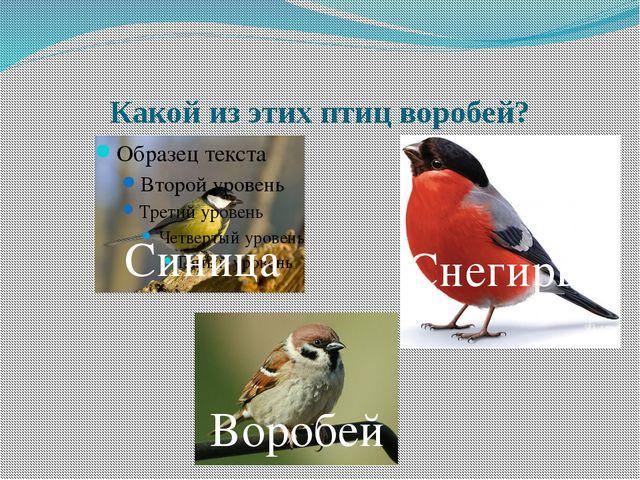Какой из этих птиц воробей? Синица Снегирь Воробей